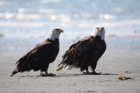 Bald Eagles , Homer , 2009