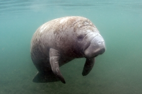 Manatee, Crystal River, 2013